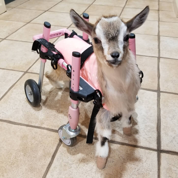 Sanctuary for special needs baby goats | Goats of Anarchy