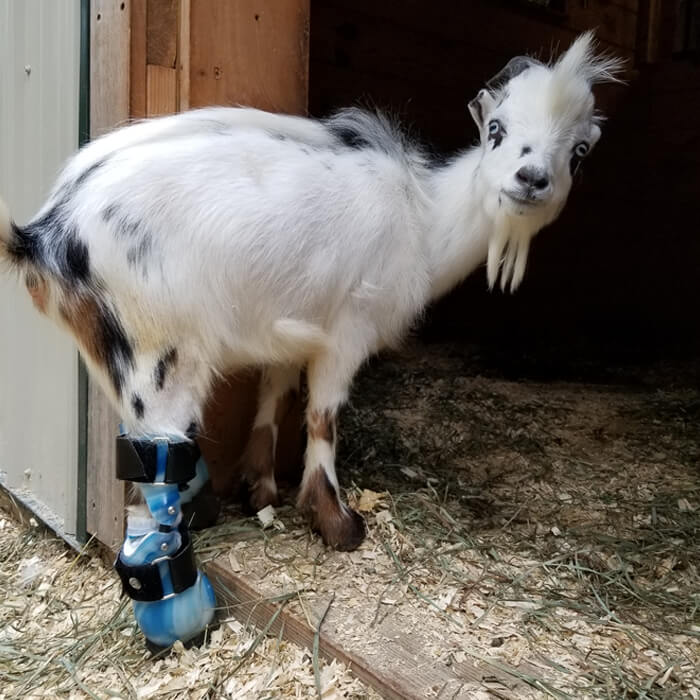 How Much Is A Baby Goat >> Sanctuary For Special Needs Baby Goats Goats Of Anarchy